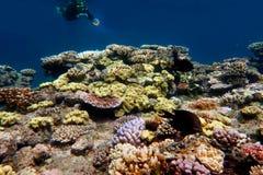 Vita marina alla Grande barriera corallina Queensland Australia Immagine Stock Libera da Diritti