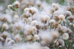 Vita maskrosor i en grön äng Arkivfoton