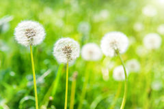 Vita maskrosor på den gröna gräsmattan Arkivfoton