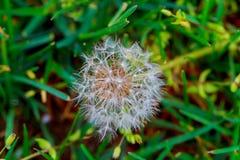 Vita maskrosor på den gröna soliga gräsmattan Arkivbild