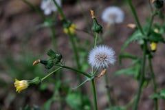 Vita maskrosor på fältnärbilden arkivbilder