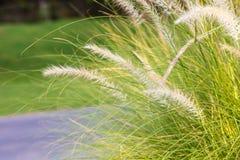 Vita maskrosor på gräsplanen Fotografering för Bildbyråer