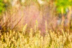 Vita maskrosor på gräsplanen Arkivfoton