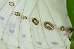 Vita Morpo fjärilsvingar Arkivbild