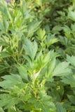 Vita mugwortväxter Arkivbild