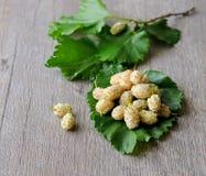 Vita mullbärsträd Royaltyfria Bilder