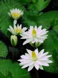 Vita näckrors Royaltyfri Foto