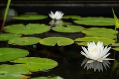 Vita näckrors på ett damm Royaltyfri Foto