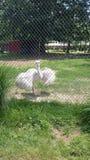Vita nandu på zoo Arkivbild