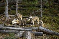 Vita nel pacchetto dei lupi Fotografia Stock Libera da Diritti