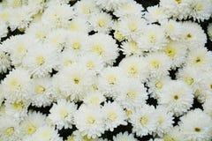 Vita nya blommor och kronblad, naturlig bakgrund, trädgårds- skönhet Royaltyfria Foton
