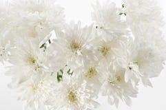 Vita nya härliga krysantemum stänger sig upp Royaltyfria Bilder