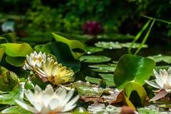 Vita och gula nymphaea- eller näckrosblommor och gröna blad i vatten av trädgårddammnärbilden royaltyfria foton