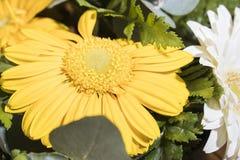 Vita och gula solrosor för solrossammansättning Royaltyfri Fotografi