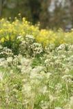 Vita och gula vildblommor för makro på kanten av fältet royaltyfri foto