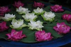 Vita och mörka rosa lotusblommor fotografering för bildbyråer