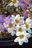 Vita och purpurfärgade krokusar i en keramisk kruka. Royaltyfri Foto
