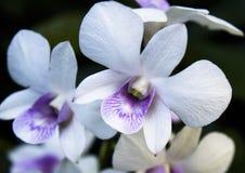 vita och purpurfärgade orkidéblommor Arkivbild