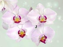 Vita och purpurfärgade orkidér för blomma Arkivfoto