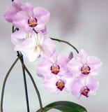 Vita och purpurfärgade orkidér för blomma Royaltyfri Bild