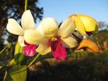 Vita och purpurfärgade orkidér på trädgården Arkivfoton