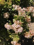 Vita och röda blommor för rosa färger, Arkivfoto