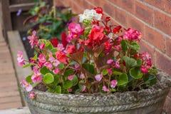 vita och röda blommor för rosa färger, i en lantlig gammalmodig kruka Royaltyfria Bilder