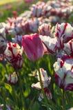 Vita och röda tulpan i holland Arkivfoto
