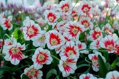 Vita och röda tulpanblommor Fotografering för Bildbyråer