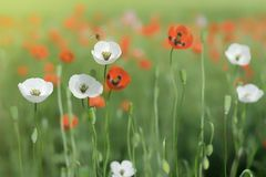 Vita och röda vallmo blommar i fältet Bin flyger över vallmo royaltyfria bilder