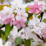 Vita och rosa blommor Royaltyfri Bild