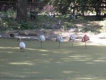 Vita och rosa flamingo Royaltyfri Bild