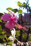 Vita och rosa hibiskusblommor Royaltyfri Bild