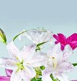Vita och rosa liljablommor Arkivfoto