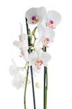 Vita och rosa orkidér Arkivbilder