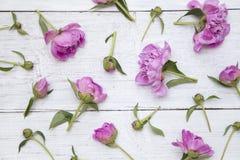 Vita och rosa pioner royaltyfri bild