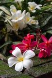 Vita och rosa plumeriablommadroppar på grön mossa bryner tegelsten I Royaltyfri Fotografi