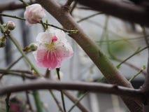 Vita och rosa sakura blommor blommar i Japan royaltyfria bilder