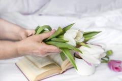 Vita och rosa tulpan i kvinnors händer royaltyfri bild