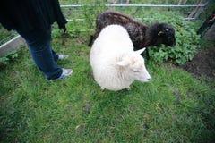 Vita och svarta sheeps royaltyfri bild