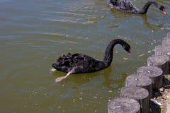 Vita och svarta svanar royaltyfria foton