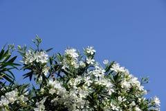 Vita oleanderblommor och blå himmel Royaltyfri Bild
