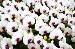 Vita orchidblommor Arkivbilder