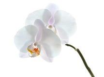 Vita orchidblommor som isoleras på white Fotografering för Bildbyråer