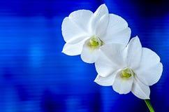 vita orchids Fotografering för Bildbyråer