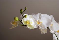 vita orchids Royaltyfri Bild