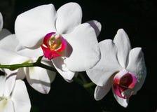 vita orchids Arkivfoton