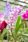 vita orchids Royaltyfri Foto