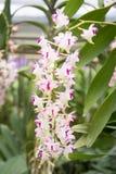 vita orchids Royaltyfria Bilder