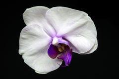 vita orchids Arkivbild